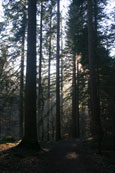 The afternoon sun through the treest in the forest beside the Hermitage, Dunkeld, Perthshire