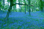 The Bluebell Woods near Murthly, Perthshire, Scotland