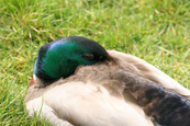 Mallard Drake pictured at Piper Dam, Birkhill, Angus, Scotland