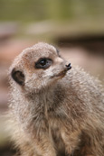 Compare The Meerkat. Meerkat pictured at Auchingarrich Wildlife Park near Comrie, Perthshire, Scotland.  Simples