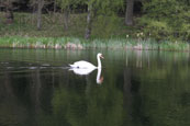 A solitary Swan on Balthayock Loch near Perth, Perthshire, Scotland