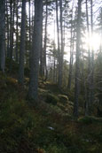 The Forest of Bruar near Bruar Falls, Perthshire, Scotland