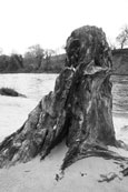 An old tree stump by the River Tay near to Stanley, Perthshire, Scotland