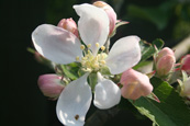Apple Blossom on an apple tree in a private orchard in Perth, Perthshire, Scotland