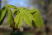 Young leaves on a Horse Chestnut Tree on the banks of the River Tay at Campsie near The Guildtown, Perthshire, Scotland.
