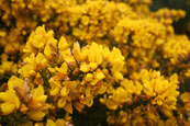 A Gorse bush on the banks of the River Tay near to Stanley, Perthshire, Scotland
