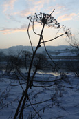 Hogweed on a winters afternoon on Moncreiffe Island on the River Tay at Perth, Perthshire, Scotland