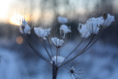Frozen Hogweed on Moncreiffe Island on the River Tay at Perth, Perthshire, Scotland