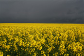 A field of Rape Seed near to Stanley, Perthshire, Scotland