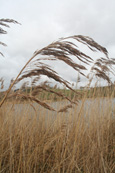 Reeds on the shore of Lundie Loch near to the village of Lundie near Birkhill, Angus, Scotland