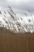 Reeds on the shore of Lundie Loch near to the village of Lundie near to Birkhill, Angus, Scotland