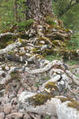 Tree roots on the shore of Loch Maree, Wester Ross, Scotland