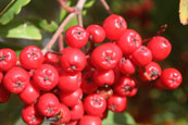 Rowan Berries on a tree beside Loch Ewe, Wester Ross, Scotland