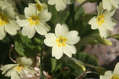 A Wild Primrose flower on the banks of the River Tay at Campsie near The Guildtown, Perthshire, Scotland