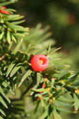 From a Yew tree on the banks of the River Tay in the Norrie Miller Walk, Perth, Perthshire,Scotland
