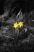Daffodils pictured near to the village of Rhynd, Perthshire, Scotland