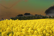 Photograph of a Rape Field on Moncrieffe Hill near to Rhynd, Perthshire