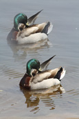 Mallard Drakes on the River Tay at Stanley, Perthshire, Scotland